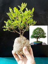 Zanthoxylum beecheyanum - Pre Bonsai - 4 year old plant