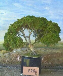 AUSTRALIAN FIG TREES  HO  OO  Lot E26