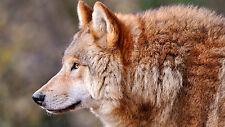 "Poster 24"" x 16"" Wolf Animal Predator"