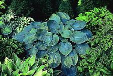 Hosta Tokudama good blue leaves, medium garden plant at maturity