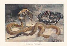 c1914 NATURAL HISTORY PRINT ~ COBRA & PUFF ADDER ~ LYDEKKER