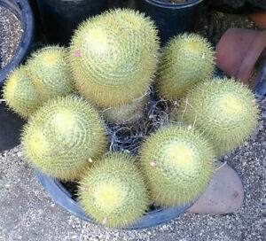 Mammillaria pringlei Clumping Gold Ball Cactus Large