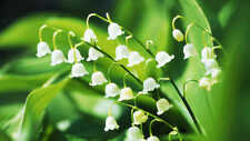 100Pcs Lily of the Valley May Plant Seeds Convallaria majalis Aromatic Flowers