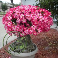 2 Pcs Adenium Obesum Seeds Desert Rose Perennial Flower Garden Bonsai Plant Home