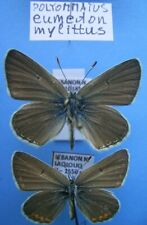 LYCAENIDAE POLYOMMATUS eumedon mylittus, cpl., ex LIBANON - lp.! RRR!!!