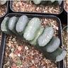 Haworthia truncata Succulent plants potted Plants Home Garden Bonsai Garden