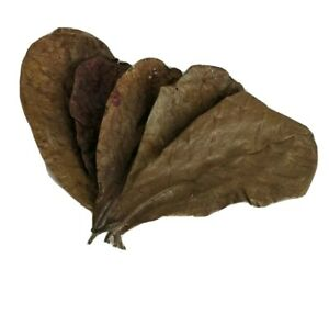 Indian Almond Catappa Leaves Large Imported High Quality Betta Shrimp Discus USA