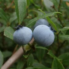 Blue Ridge Blueberry .... 20 Seeds