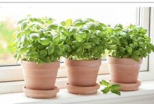 Sweet Basil Herb Plant Indoor Plants Plant Potted Plant Herb Garden Herbs Basil