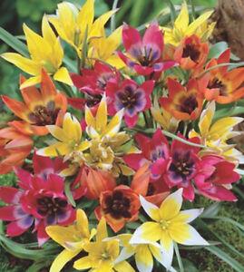 10,25, 50, 100 oder 500 Wildtulpen gemischt Blumenzwiebeln Tulpen