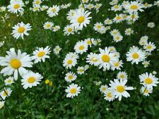 1.000 Samen Wiesen Margerite Bienenweide Margeriten winterharte Staude Wildblume