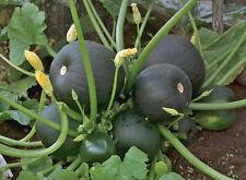 Squash Zucchini seeds Botsman Heirloom Vegetable Seed from Ukraine