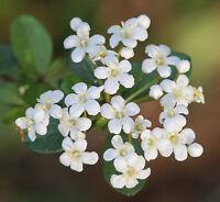 Walter's Viburnum    Viburnum obovatum   Bonsai Tree  10 Seeds   (Free Shipping)