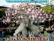 "ADENIUM THAI SOCOTRANUM  "" GOLDEN CROWN "" 100 SEEDS NEW & RARE GREAT FOR BONSAI"