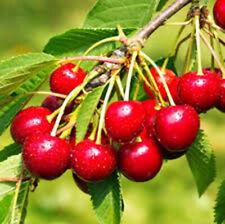 NANKING CHERRY, (3) 1 yr #1 Grade, Cherries, Fruits, Fruit, Tree, Cherry Tree