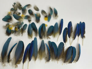 Blue and Gold Macaw Feathers Collection Chest and Fluff Pieces Craft Fishing