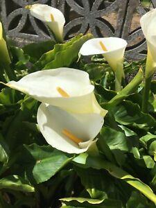 Calla Arum Lily Zantedeschia, 5x lilly plants