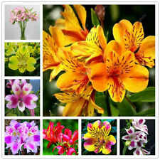 100 Alstroemeria Flowers Seeds Peruvian Lily Of The Incas Mix Beautiful Garden