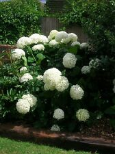 HYDRANGEA Bush Shrub ANNABELLE Huge Ball Flowers Garden Ready Potted + FREE GIFT