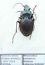 Carabus mesocarabus lusitanicus antiquus (male A1) from PORTUGAL (Carabidae)
