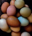 12+ Hens Choice fertile Chicken Hatching Eggs Ayam Cemani Splash Marans Possible