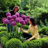 10X Purple giant allium giganteum flower black seeds home garden plant decorYH
