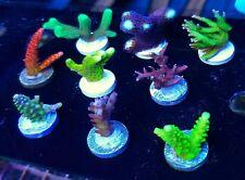 9 SPS **VALUE** Frag Pack - Acro Live Coral Saltwater ORA WWC - Budmans