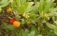 Erdbeerbaum - Arbutus unedo - 10 frische Samen (Winterhart)
