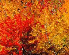 Rea fine art photography red and yellow fall colors matted wall art picture