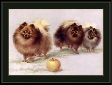 English Print Pomeranian Dog Dogs Puppy Puppies Art Picture Vintage Poster