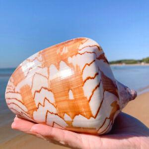 Large Scenic Shell Conch Natural Coral Sea Snail Fish Tank Decor Ornament Modern