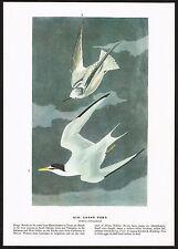 1930s Original Vintage Audubon Least Tern Bird Limited Edition Art Print