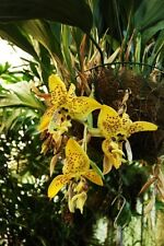 Stanhopea Orchid costaricensis