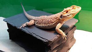 Fennstones large slate basking rock cave shelter hide bearded dragon reptile pet