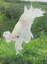 New listing Live Betta Fish Male White Platinum Halfmoon # 4/4