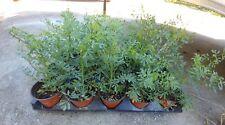 RUE PLANT ** PLANTA DE RUDA **  POTTED HERB