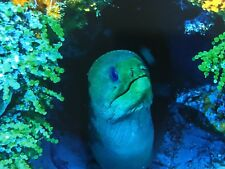 Underwater Photo Art Print 8x10 Green Moray Eel In Mexico Hi Quality Picture