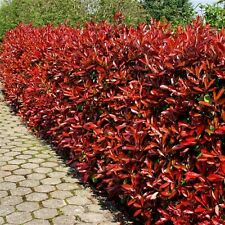 3 Photinia Red Robin Hedging Plants 20-30cm Bushy Evergreen Hedge Shrubs