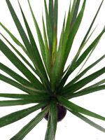 "Madagascar Dragon Live Tree Plant Dracaena Marginata 4"" Pot Easy Grow Houseplant"