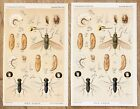 1888 Insects Entomological Lithographs Prints BEES FLIES LARVAE ORIGINAL