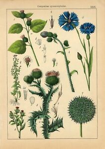 1885 GREATER BURDOCK SCOTCH THISTLE GLOBE-THISTLE Lithograph Print Willkomm