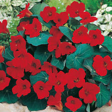 50 Empress of India Nasturtium Flower Seeds