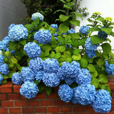 50pcs/bag Rare Blue Hydrangea Flower Seeds Garden Potted Plant Seed Nice Decors