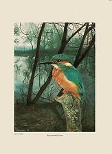 LIMITED Edition LITHO stampa di un martin pescatore Bird