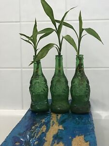 Lucky Bamboo Plant,Feng Shui Cure,Dracaena sanderiana,Indoor Plant grow in water