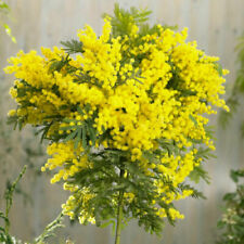 "Pianta di Acacia Dealbata ""Mimosa"" in vaso ø 9 cm  bellissima e profumata"