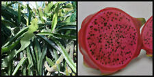 (1) Cutting ~Red Flesh~ Dragon Fruit , Plant Vine Tree Pitahaya Hylocereus 8""