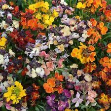 Wallflower - Persian Carpet Mixed - 500 Seeds
