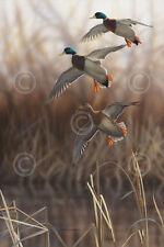 Whisper Wind and Wing - Mallards Richard Clifton Art Print Poster Wildlife 18x26