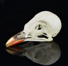 real Taxidermy bird skull bones skeleton specimen Arts Crafts Leiothrix